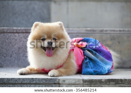 Pomeranian dog on the staircase  it wear clothes for dog and clothes of pom has ping and blue color.pommeranian looking for you. - stock photo