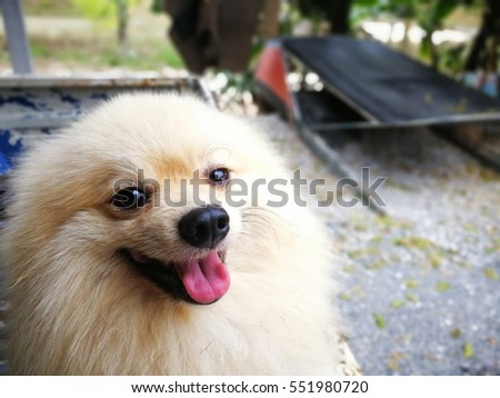 pomeranian dog outdoor pomeranian dog near blue fence beautiful and clever dog