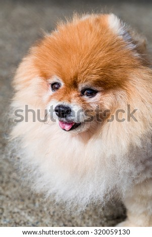Pomeranian Dog / Pomeranian / Pomeranian Dog Face Shot - stock photo
