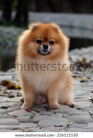 Pomeranian dog posing on paving stone  - stock photo