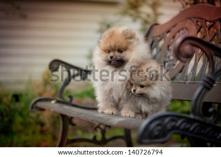pomeranian dog puppy - stock photo