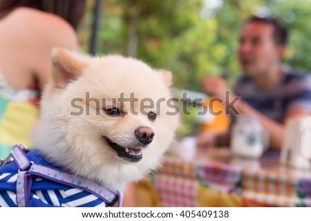 pomeranian dog puppy cute pet happy friendly sitting in cafe - stock photo