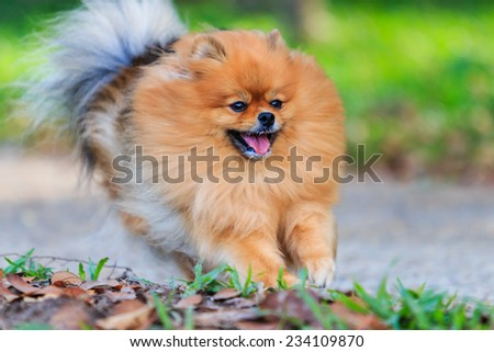 Pomeranian dog running in the park - stock photo