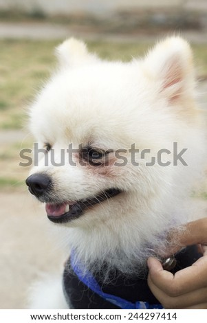 Pomeranian dog sit and stare  - stock photo
