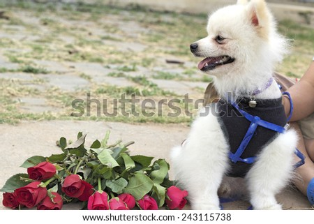 Pomeranian dog sit and stare with red roses. - stock photo
