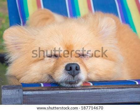 pomeranian dog sleep on chair - stock photo