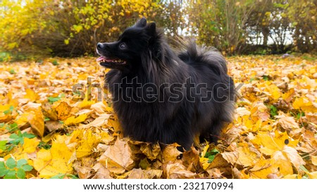 pomeranian dog. spitz - stock photo