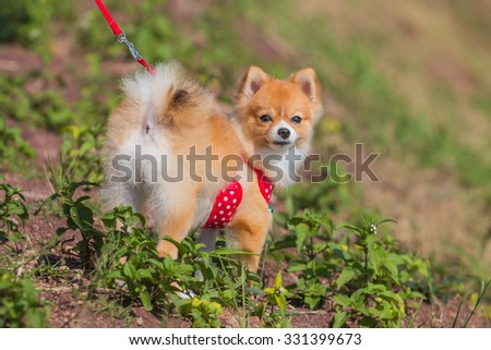 Pomeranian dog stand on the garden