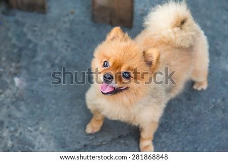 Pomeranian dog stand on the street - stock photo