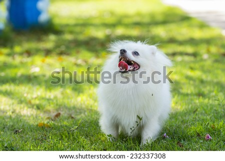 Pomeranian dog standing on green grass in the garden - stock photo