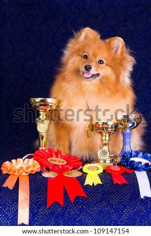 Pomeranian dog the winner of the exhibition - stock photo
