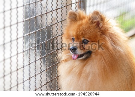 Pomeranian dog waiting for owner to come home - stock photo