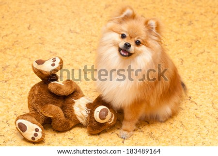 pomeranian dog with a toy teddy bear. small breed dogs - stock photo