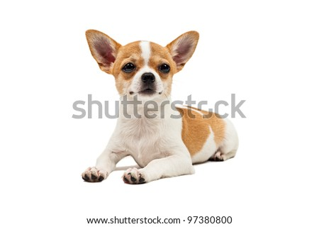 Pomeranian dog, young puppy, lies down, over white
