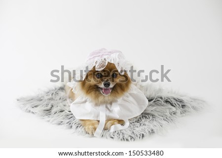 Pomeranian dressed as a baby girl with bonnet isolated - stock photo