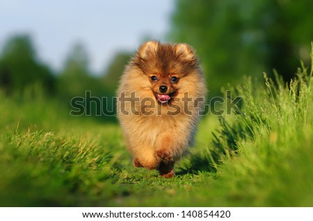 Pomeranian for a walk - stock photo