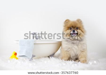 Pomeranian getting ready for a bubble bath in a bath tub - stock photo