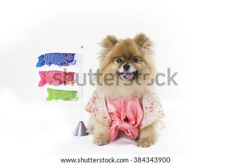 Pomeranian girl dressed in Japanese Kimono  - stock photo