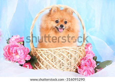 Pomeranian in a basket  - stock photo