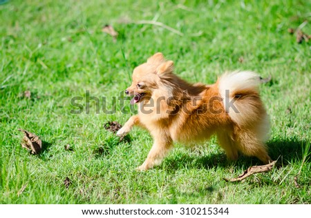 Pomeranian lifted up her front leg - stock photo