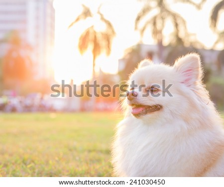 Pomeranian. Little dog spitz outdoors with sunlight - stock photo
