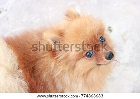 Pomeranian looking at the camera while have chill out time at the yard/Little puppy dog