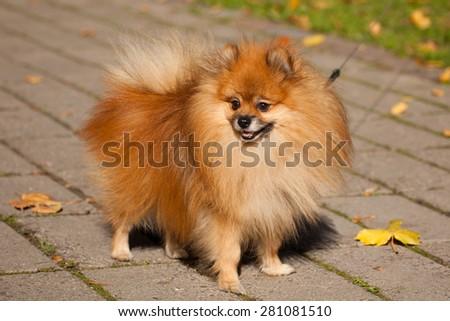 Pomeranian (often known as a Pom or Pom Pom) is a breed of dog of the Spitz type. - stock photo