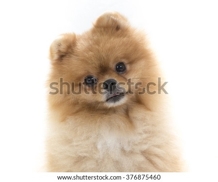 Pomeranian portrait. A cute dog is sitting in a photoshoot. Image taken in a studio. The dog breed is The Pomeranian often known as a Pom or Pom Pom. - stock photo