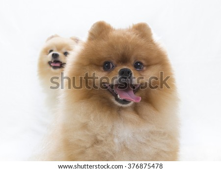 Pomeranian portrait. A two cute dogs are sitting in a photoshoot. Image taken in a studio. The puppy is in the back. The dog breed is The Pomeranian often known as a Pom or Pom Pom. - stock photo