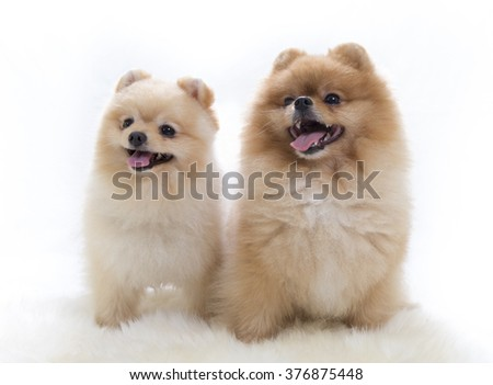 Pomeranian portrait. A two cute dogs are sitting in a photoshoot mouth open. Image taken in a studio. The dog breed is The Pomeranian often known as a Pom or Pom Pom. - stock photo