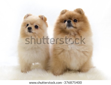 Pomeranian portrait. A two cute dogs are sitting in a photoshoot mouth shut. Image taken in a studio. The dog breed is The Pomeranian often known as a Pom or Pom Pom. - stock photo