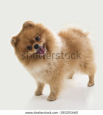 Pomeranian portrait. An image of a cute pomeranian puppy who is turning it's head funny. Image taken in a studio. - stock photo
