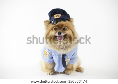 Pomeranian posed and dressed as a police in uniform isolated - stock photo
