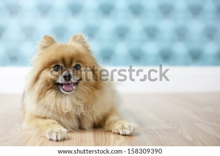 Pomeranian posing for studio portrait with aqua background on hardwood floor - stock photo