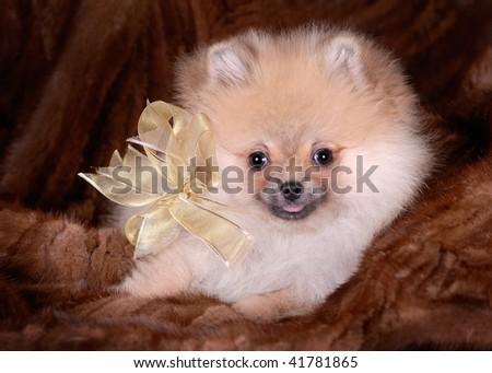 Pomeranian puppy - stock photo