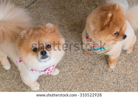pomeranian puppy dog grooming with short hair, cute pet smiling happy - stock photo