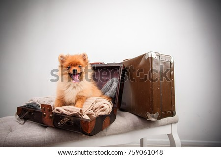 Pomeranian puppy dog in the suitcase. isolated. dog traveler. Dog in luggage.