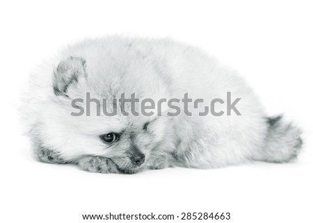 Pomeranian puppy dog on white background. Portrait of Pomeranian dog.