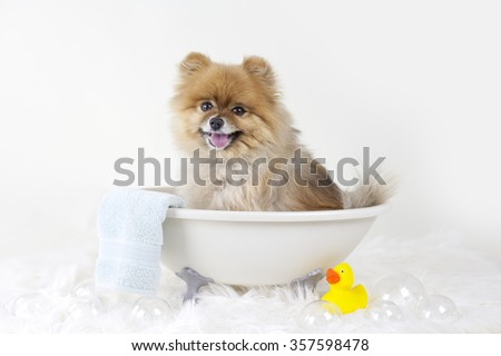 Pomeranian puppy getting a bath in a mini bath tub with rubber duck - stock photo
