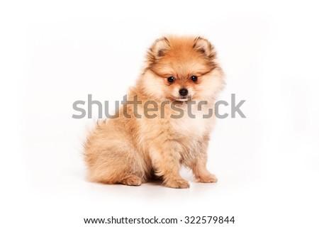 Pomeranian puppy isolated on white background - stock photo