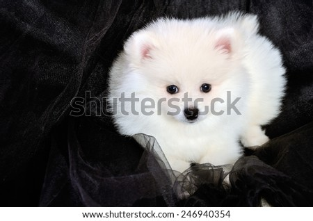 Pomeranian puppy lying on the black cloth. horizontal - stock photo