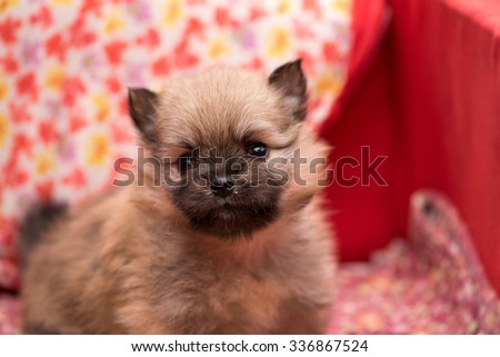 Pomeranian puppy 1 month old portrait.