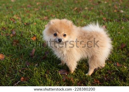Pomeranian puppy redhead on grass - stock photo
