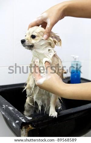 pomeranian puppy shower in bathroom - stock photo