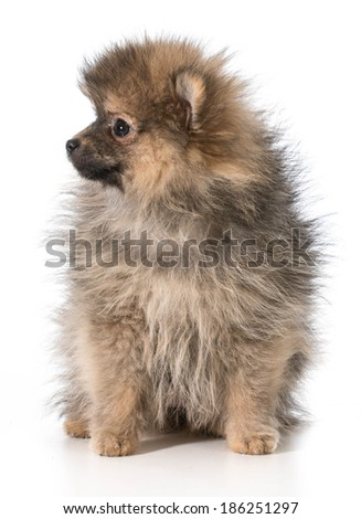 pomeranian puppy sitting looking to the side isolated on white background
