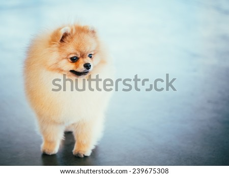 Pomeranian Puppy Spitz Dog Full Length Portrait - stock photo