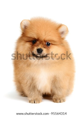 pomeranian puppy the age of 2 month isolated on  white