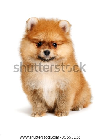 pomeranian puppy the age of 2 month isolated on  white - stock photo