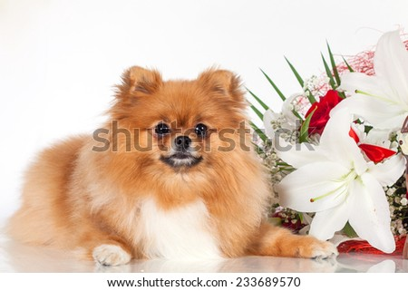 Pomeranian puppy with a bouquet of flowers on white background