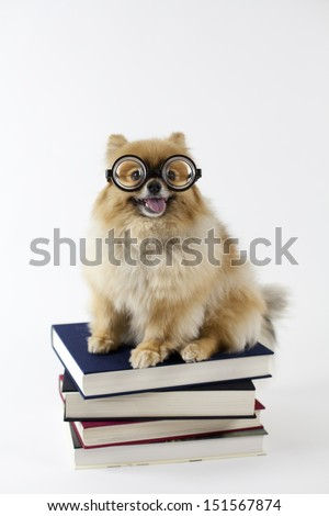 Pomeranian sitting on top of textbooks with glasses - stock photo